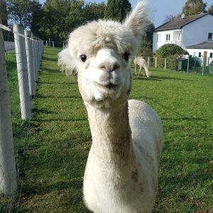 alpaca wanderung