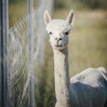 manu alpaca services