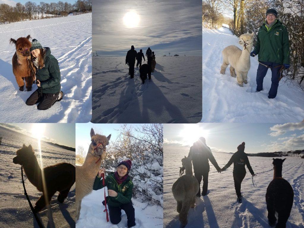 Alpaka im Schnee